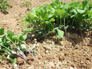 祐子さんが育てた大豆の苗。最初はこうして一画にかためて大豆をまき、芽が出るまでカラスから守る白いネットをかけておくそうです。芽がでてしまえば(豆でなくなれば)カラスは食べないとのこと。