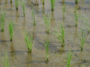 苗はポット式でしっかり育ててから植えたので、活着も早く風にも負けていません。
