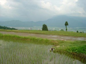 ようやく曇り空。稲も元気です。