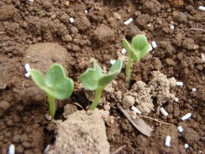 桑原さん指導もと種巻きした方の芽。シャンとしています。
