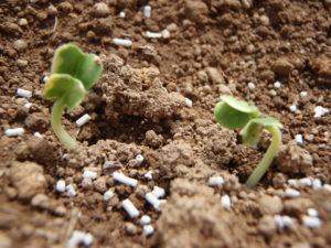 参加者が種まきした方の芽。どうやら少し様子が違うようですね。