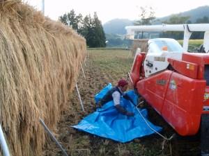 はざかけを10日間した稲の前にコンバインを止める。稲からもみを外す機能だけを使う。下にひいたシートは、落ち穂を泥まみれにしないため。