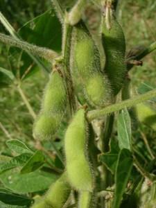 9月2日撮影。豆がしっかりと実っていました。