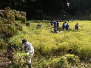 高さ20m前後の杉の木が何本もなだれ込んだ田んぼでの稲刈り。地元の中学生がやってきた。