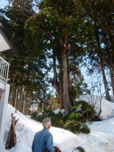 2メートル近くある残雪を利用しての枝打ち。雪の上に切った枝が落ちるので、切り落とした枝の片づけも比較的楽にできます。