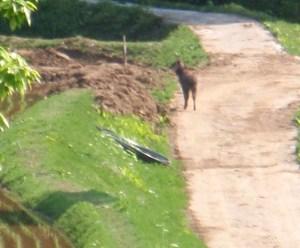 朝、田植えの直前、集落内に現れたニホンカモシカ。歩道から農道を歩いて森の中に消えていきました。
