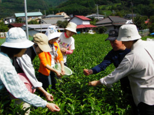 茶葉の摘み方を教えてもらう参加者。固い葉がまざってしまうときれいに揉めないので、注意が必要です