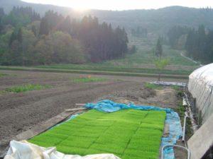 村人が丹精をこめて稲の苗を育てています。
