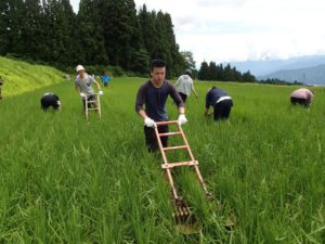 「クルマ」と呼ばれる除草機を押したり、手で田んぼの中の雑草を引っこ抜いたり、すべてが新しい体験でした。