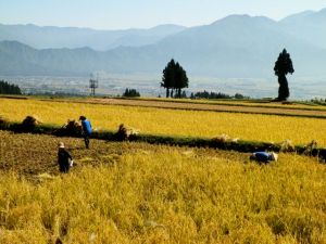 黄金色の田んぼでの稲刈りまで