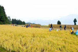 見事な黄金色の田んぼに入って、一斉に刈り取り作業を進めます。