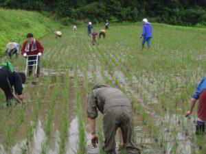 地元のみなさんも加わった10数人が一斉に田んぼの中で草取りを展開しました。