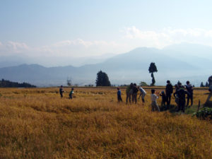 天気に恵まれ、はりきって稲刈り開始。