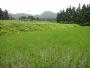 田んぼ全体の緑が濃くなりました。