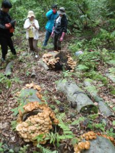 ブナの原生林の中に置かれた原木から、わっと姿を出したナメコたち