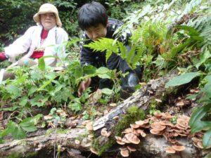 別の場所を歩くと、天然のクリタケが大量に発生していました。