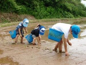 5月に初めて田植え体験をした地元の小学生たち。まっすぐ植えられています。