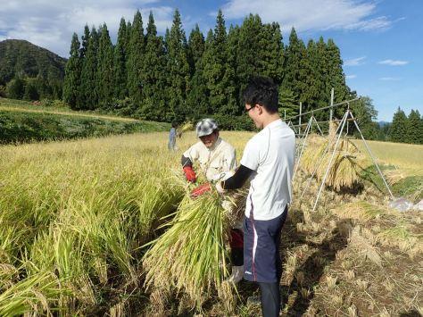 稲の束ね方を教わる