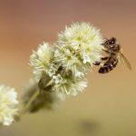 Qué plantas cultivar para ayudar a las abejas y evitar su extinción