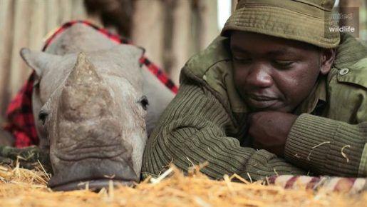 rinoceronte, marfil, cuerno, cazadores