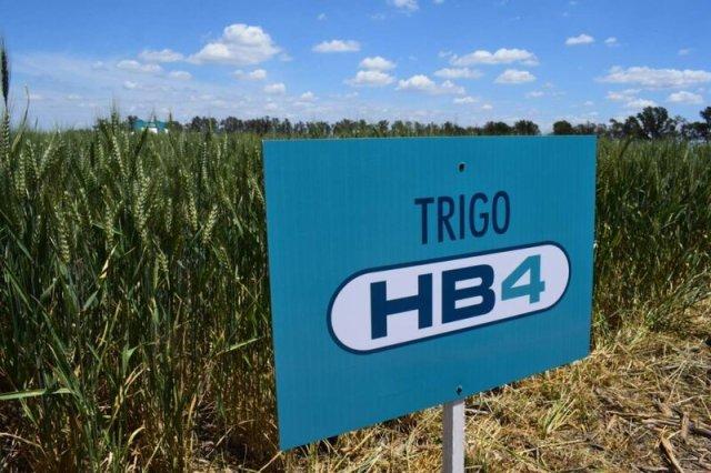 trigo, transgénicos, HB4, trigo HB4, agricultura, agroindustria, glifosato