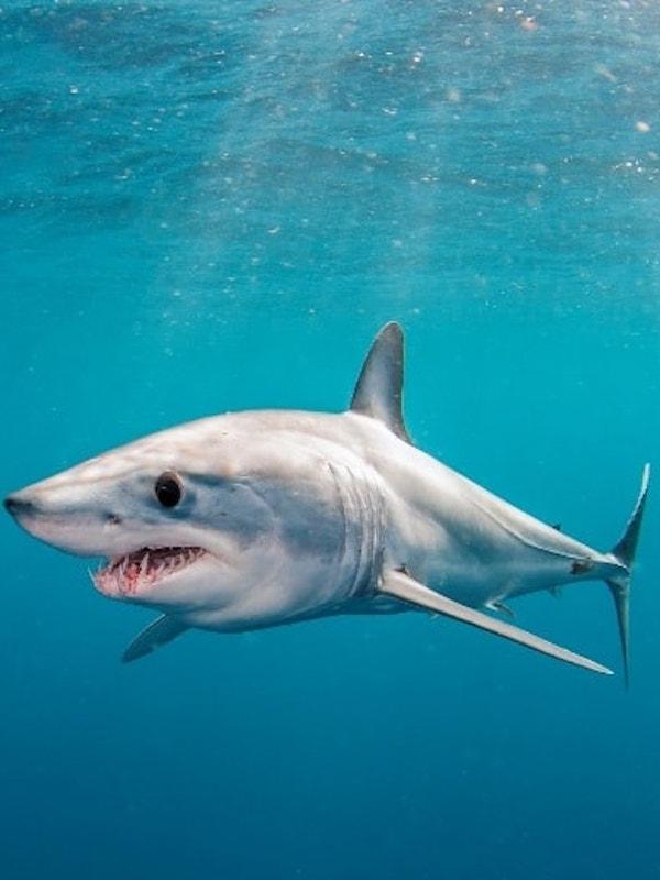 El peor enemigo del tiburón marrajo puede ser España