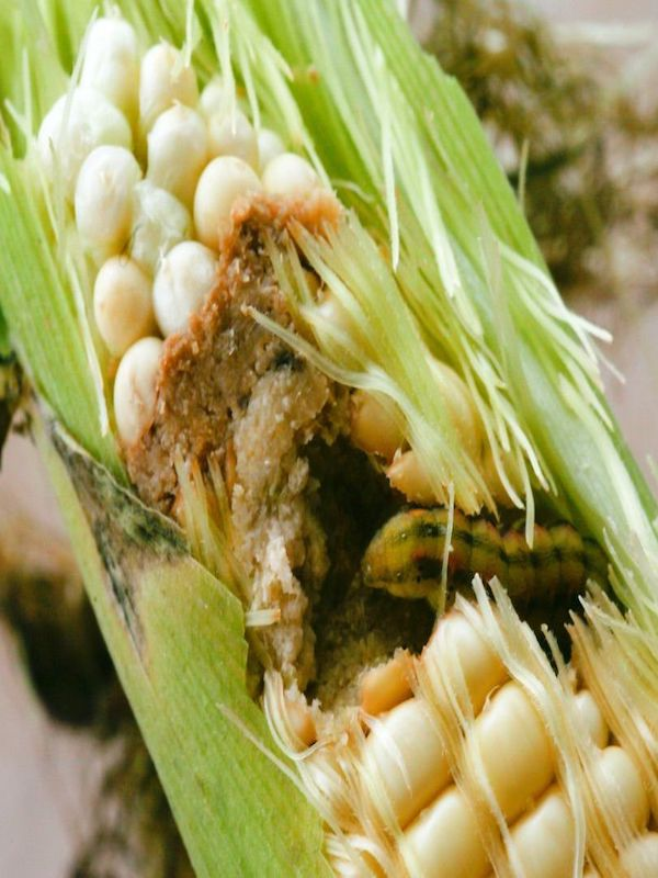 ¿Cómo se defienden los insectos de los biopesticidas?