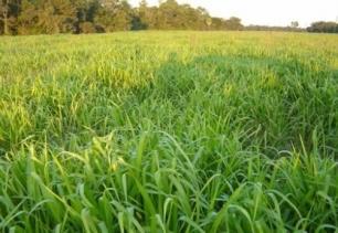 hierba para controlar el cambio climático