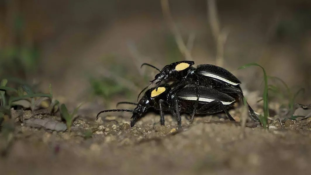13.-sareptiles.co.za_Ground-Beetles-Mating-small