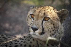Cheetah-3-small