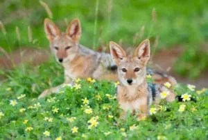 ET-Black-Backed-Jackals-1-of-1