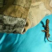 Karongwe_gecko-in-bed_Cara-Pring-cropped