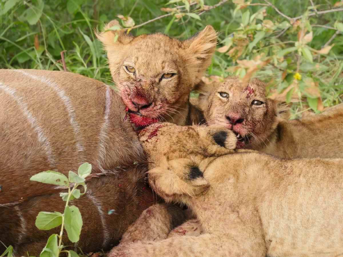 Karongwe_lioness-cubs-and-kudu-kill_Cara-Pring-5