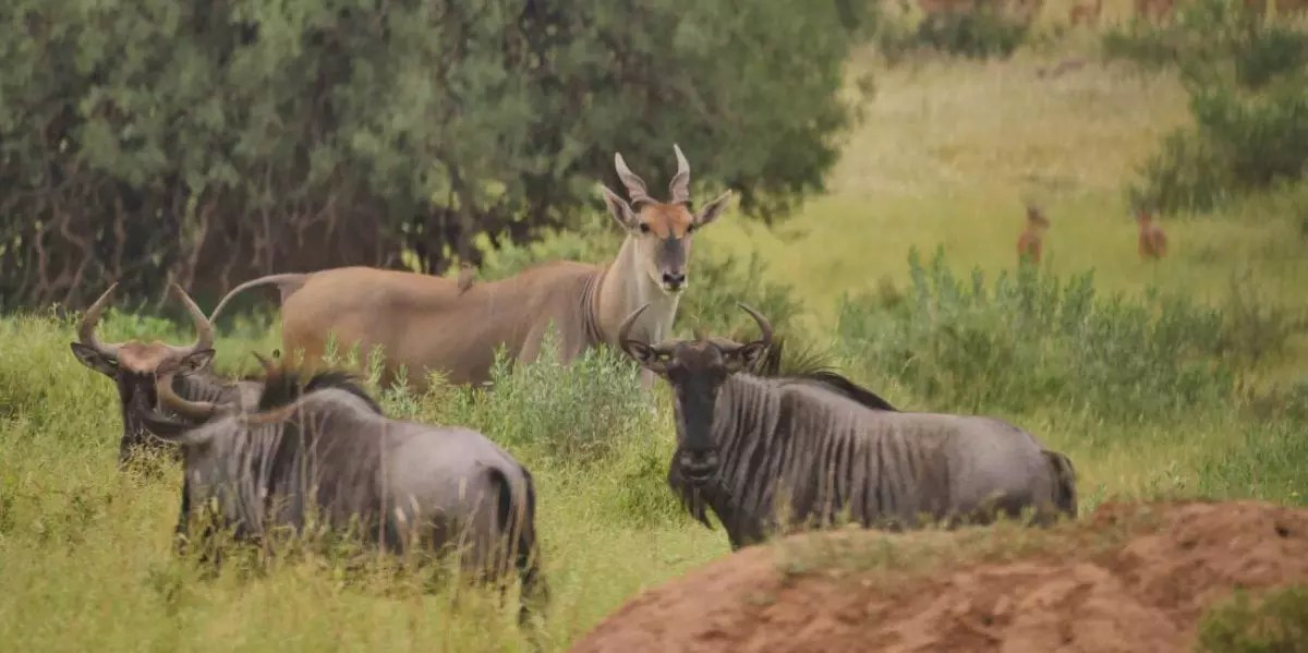 Mashatu_Eland-and-Blue-wildebeest_Cara-Pring_cropped