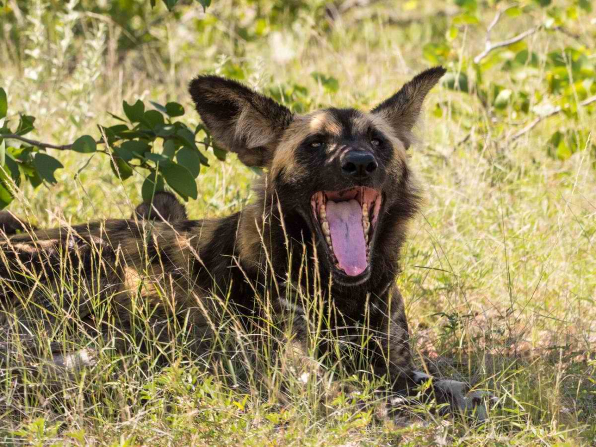 Mashatu_wilddogs_Cara-Pring-6