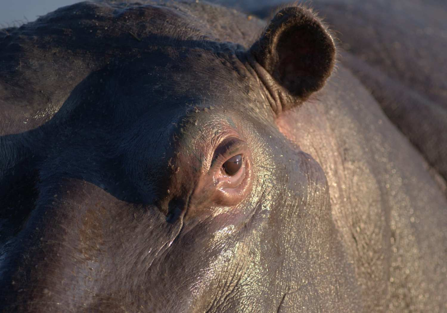 Hippo up close