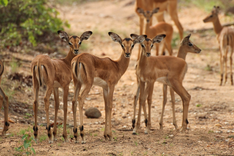 Impala calf