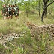 Cheetah in Karongwe