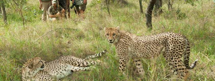 Cheetah in Karongwe
