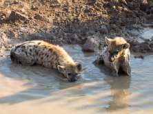 Hyena in mud