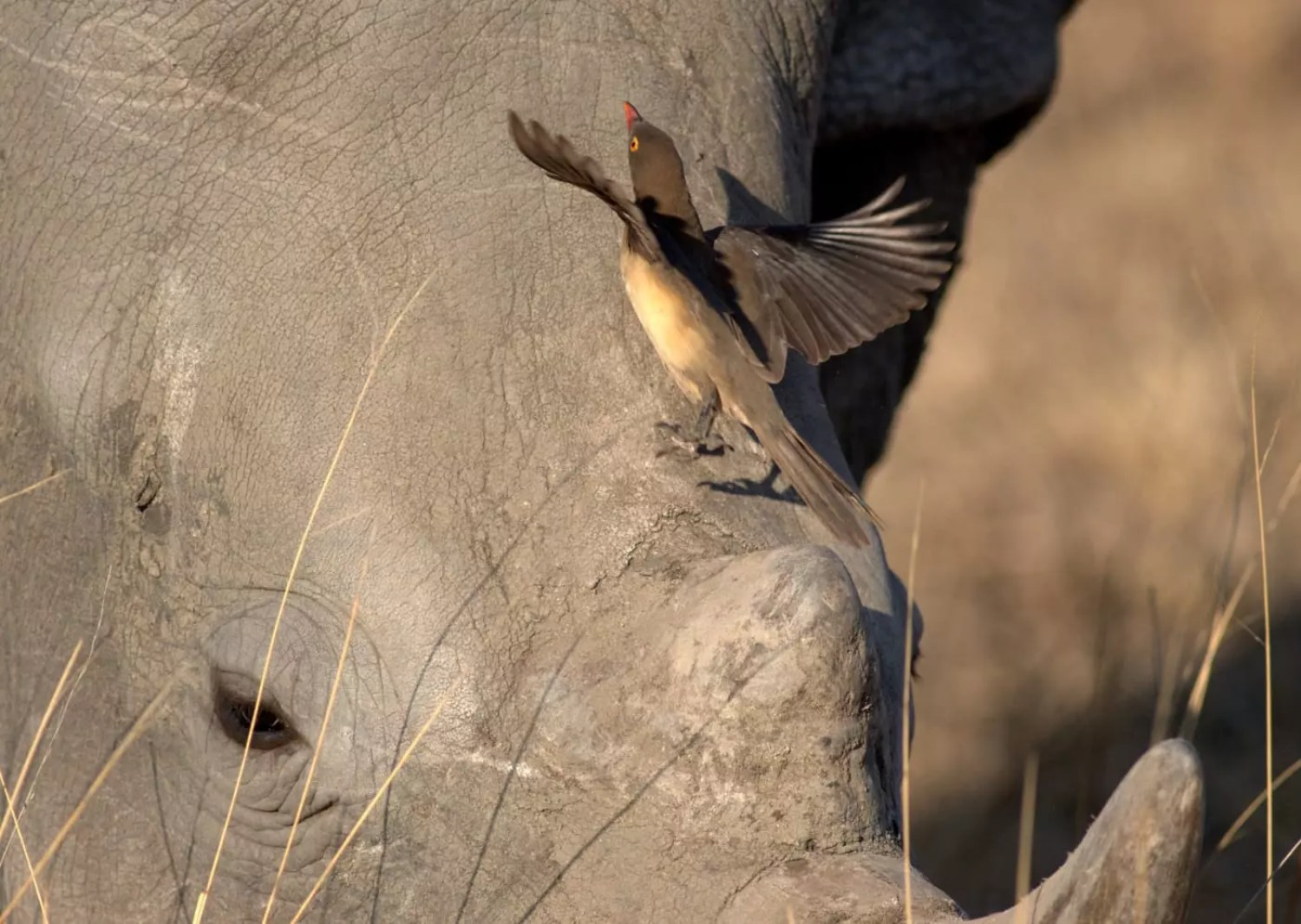 oxpecker on rhino