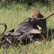 Leopard vs Wildebeest