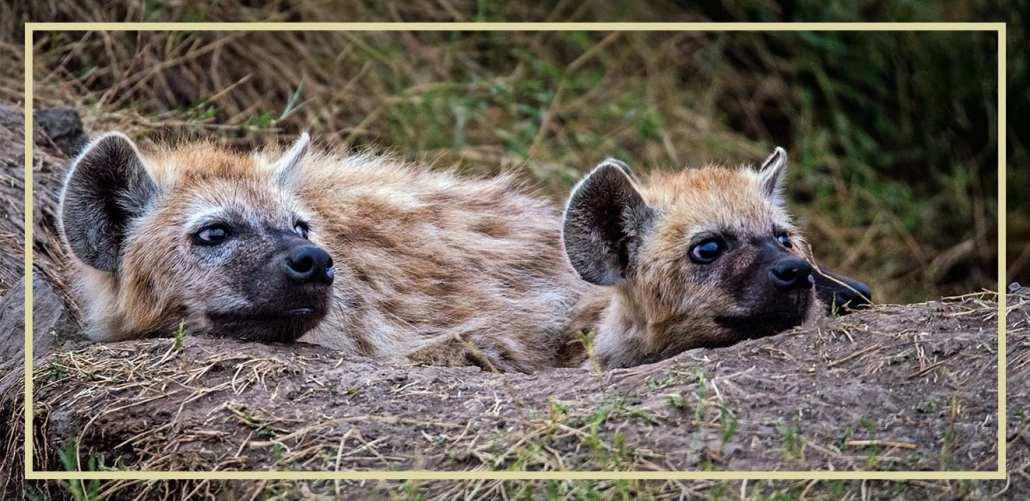 Spotted Hyena - Ecotraining