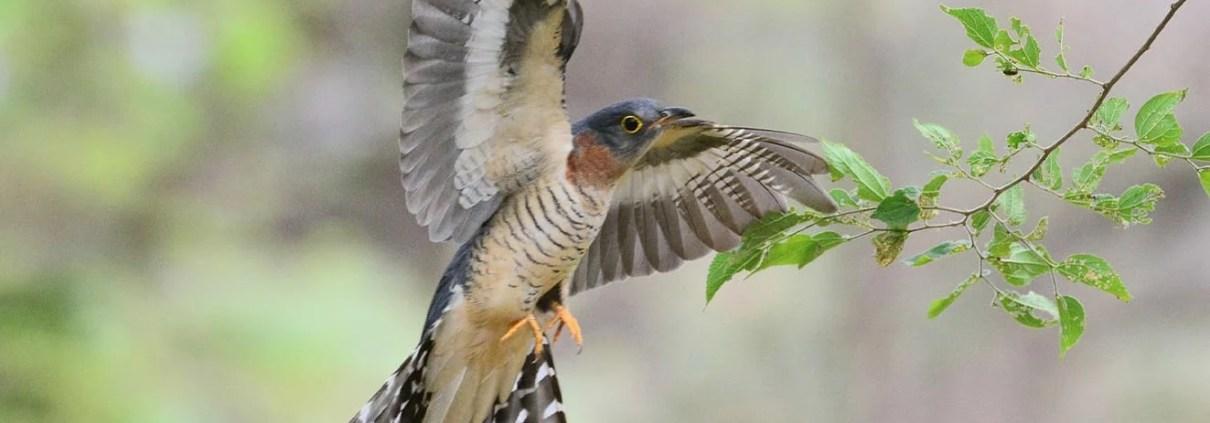 Cuckoo Quiz