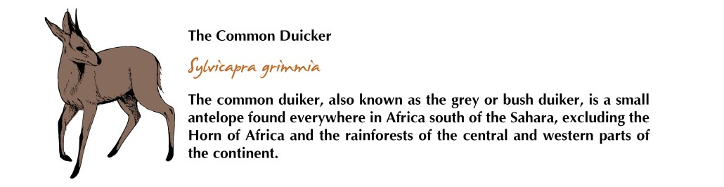 Common Duicker Facts