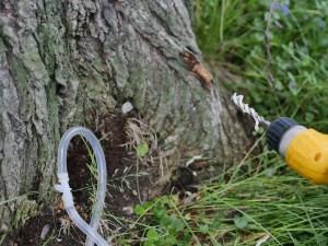 Tree being treated for oak wilt disease
