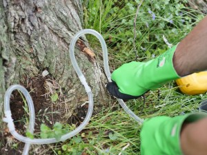 Treating oak wilt