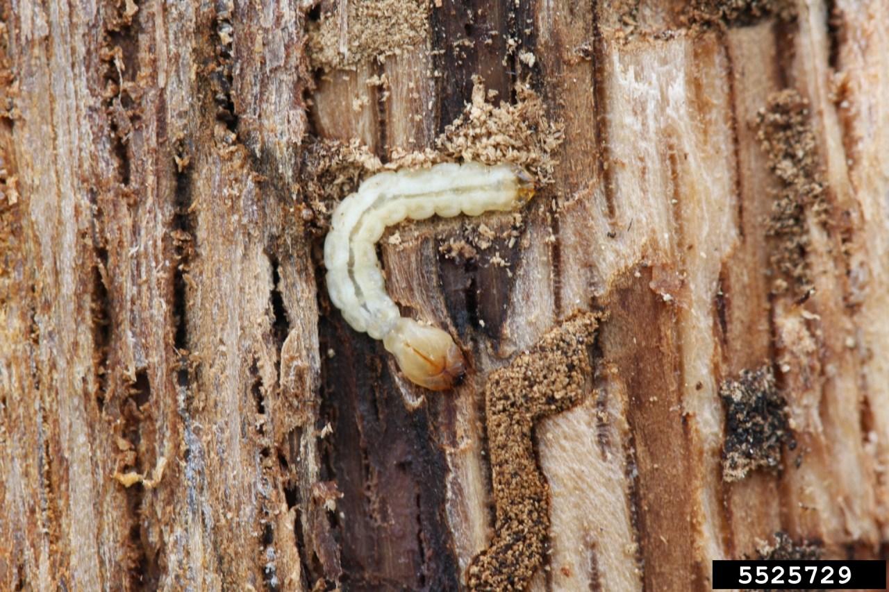 Two-line chestnut borer grub_1