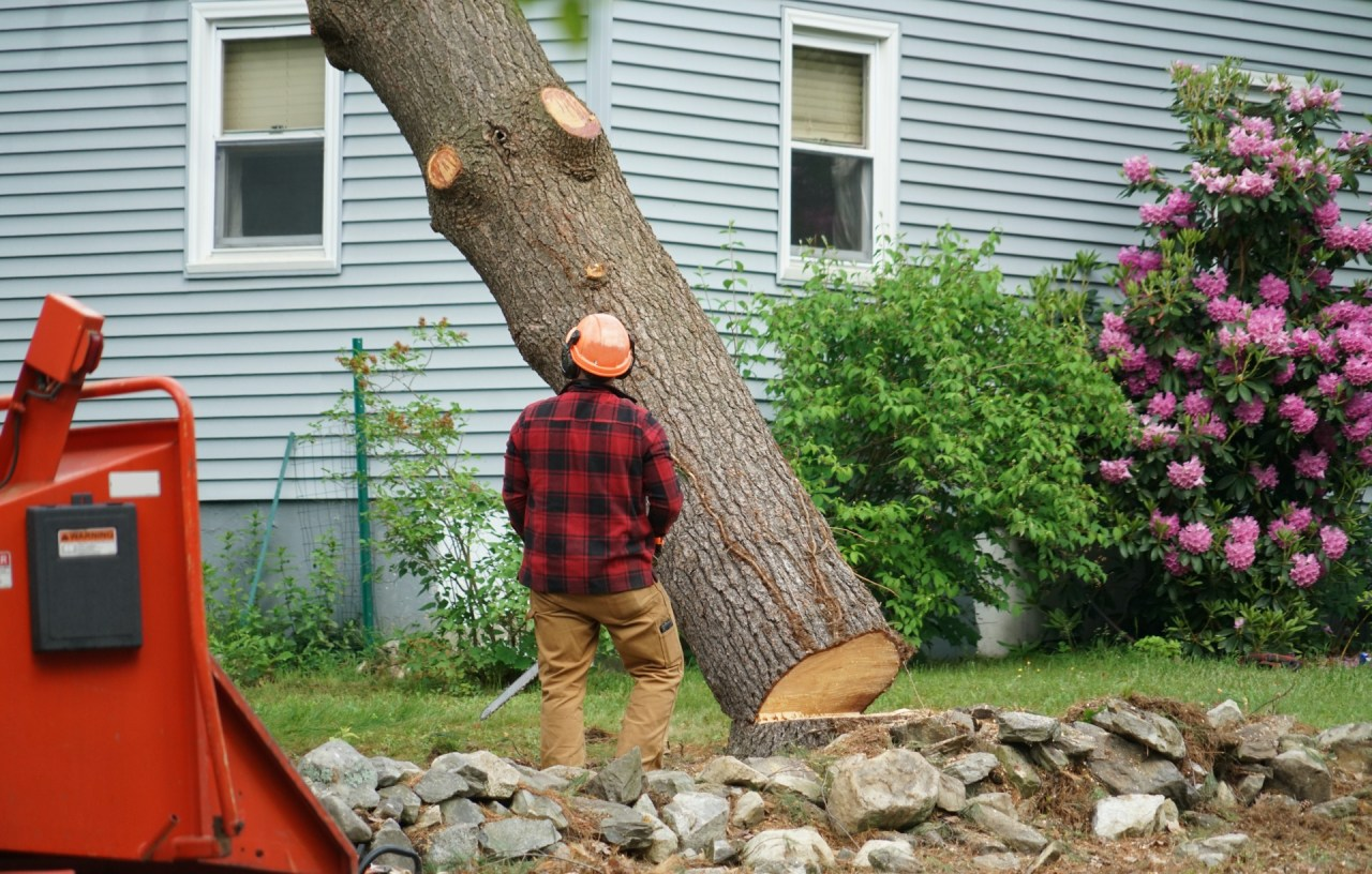 Worker cutting down tree that needs removal