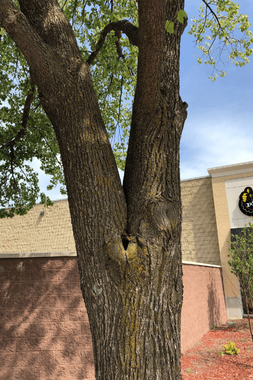 weak tree unions can lead to the need for tree bracing